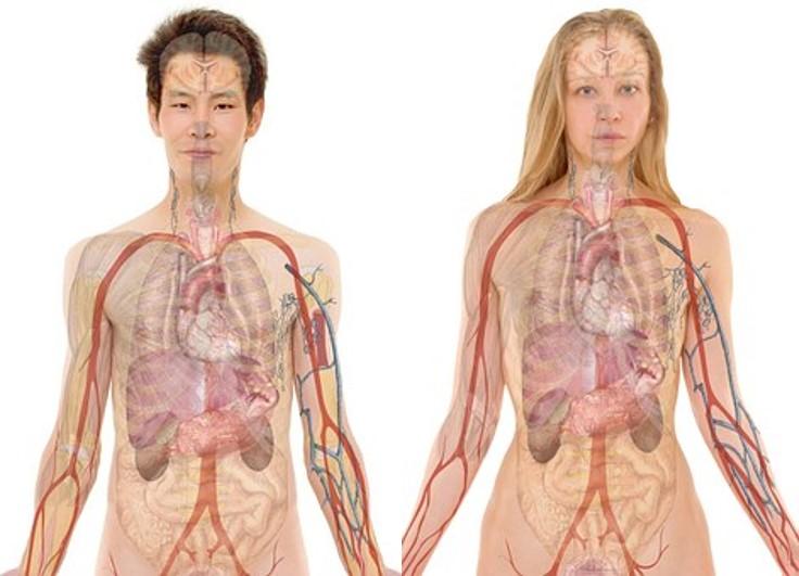 Férfi és női anatómia